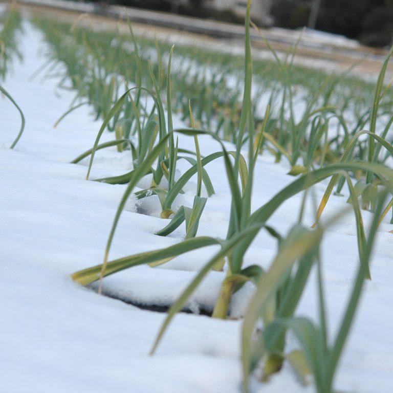厳冬期のにんにく畑
