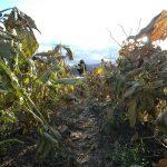 黒大豆の収穫