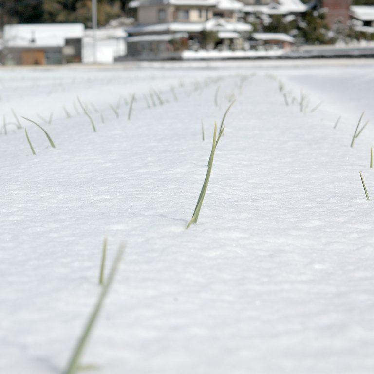 雪に覆われたにんにく畑