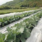 無農薬キャベツの栽培風景