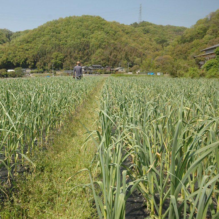 にんにくの芽の収穫直前のにんにく畑