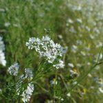 パクチー(コリアンダー)の花